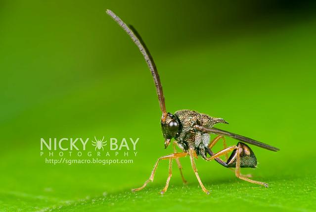 Eucharitid Wasp (Eucharitidae) - DSC_8114