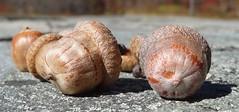 oaks: acorns, leaves, bark, trees