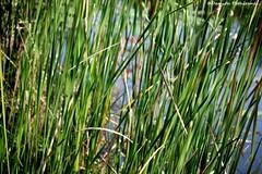 leaf, grass, plant, chrysopogon zizanioides, green, paddy field, grassland,