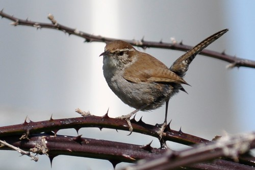 Bewick's Wren | Stinson Beach  |  | 2012-04-05at23-15-48 | by Bettina Arrigoni