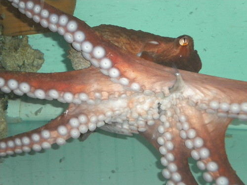 An active octopus busily moves around in her tank, with a dead fish cleverly kept hanging out of her mouth for later.