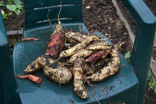 freshly dug sweet potatoes 005