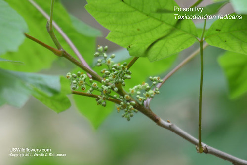 Eastern Poison Ivy - Toxicodendron radicans by USWildflowers