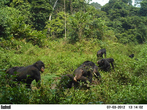 12 bonobos in the clearing