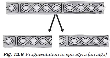 Asexual reproduction or fragmentation in spirogyra labeled