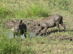 animal, grass, pig, fauna, pig-like mammal, warthog, pasture, safari, wildlife,