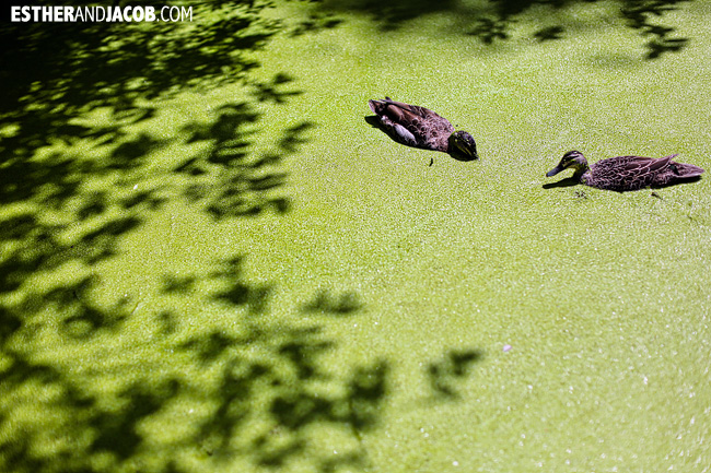 Ducks swimming in duck weed at Willowbank Wildlife Reserve New Zealand Animals | A Guide to South Island New Zealand
