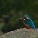 Small photo of Ijsvogel, Kingfisher (Alcedo atthis).