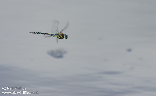 Migrant hawker Aeshna mixta in flight-3