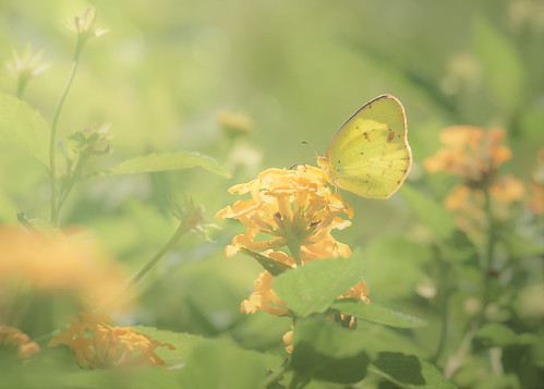 butterflydays canon canon70200mm canon7d georgia lantana midway summer baby butterfly cloudlesssulphur color flower garden insect light nature phoebissennae sulphur sunny warm yellow