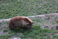 cattle-like mammal(0.0), muskox(0.0), bison(0.0), animal(1.0), zoo(1.0), mammal(1.0), grazing(1.0), grizzly bear(1.0), fauna(1.0), wildlife(1.0),
