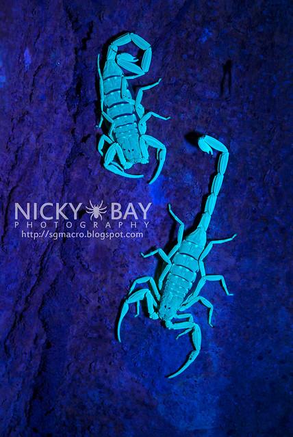 Scorpions (Lychas scutilus?) - DSC_8312
