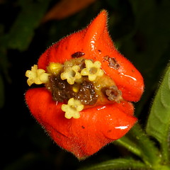 Rubiaceae of Ecuador