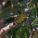 Small photo of Common Iora Aegithina tiphia