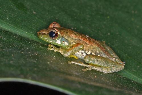 Pandanus Frog (Guibemantis pulcher)