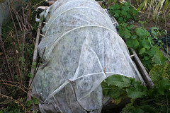 frost protected garden 035
