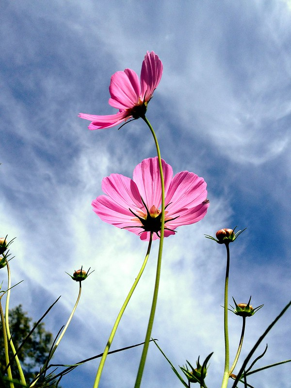 Purple Cosmos & Sky