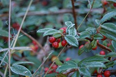 evergreen(0.0), berry(0.0), acerola(0.0), flower(0.0), arctostaphylos uva-ursi(0.0), lingonberry(0.0), shrub(1.0), leaf(1.0), red(1.0), plant(1.0), flora(1.0), produce(1.0), fruit(1.0), food(1.0), rose hip(1.0),
