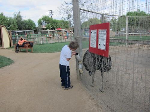 Feeding the emu