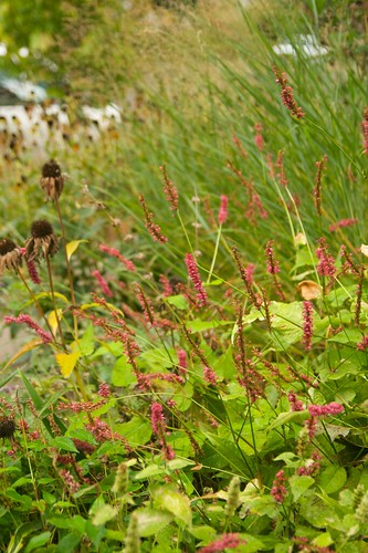 persicaria golden arrow  2281