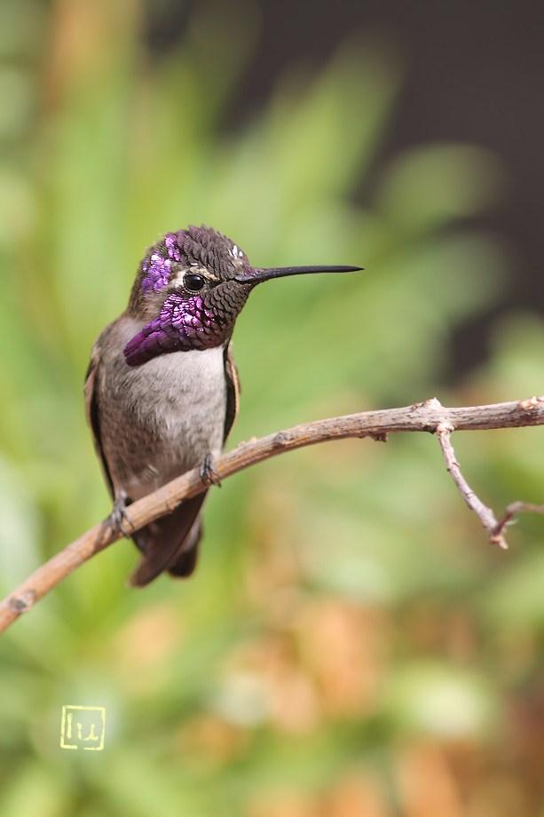 Costa's X Anna's Hybrid Hummingbird 101412