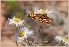 Arachne Checkerspot butterfly photography by Ron Birrell;  DSC_4864 1100