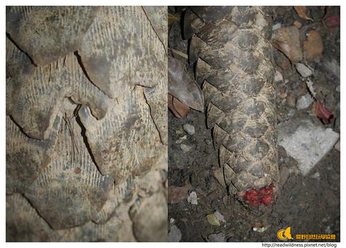 山道上偶遇的穿山甲,尾巴受了傷。圖片:閱野自然玩學協會