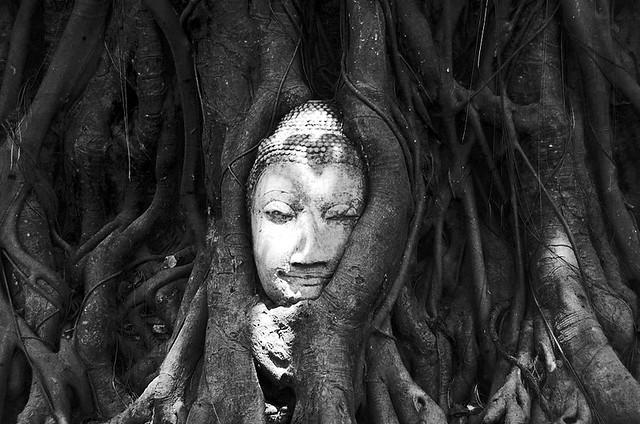 El buda en el árbol de Ayyuthaya