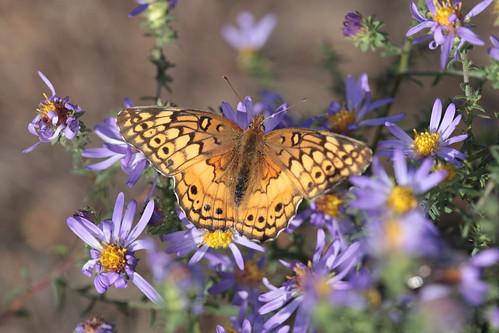 butterfly northcarolina aster richmondcounty variegatedfritillary euptoietaclaudia
