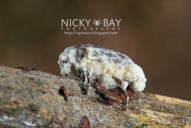 Longhorn Beetle (Cerambycidae) - DSC_5521