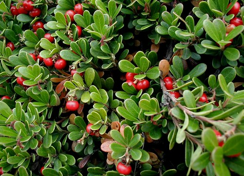 Kinnickinick is an evergreen, woody, groundcover shrub that is spectacular in fall when the berries ripen to a brilliant red. Photo copyright by Sten Porse.