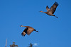 A pair of Sandhill Cranes fly over Langara Island, Haida Gwaii