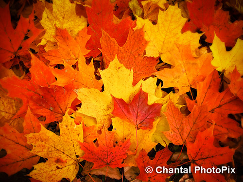 Colorful Maple Leaves in Peak Fall Colors