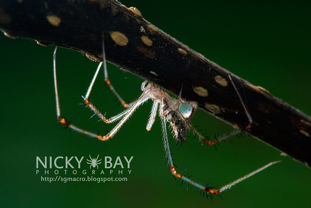 Golden Comb-footed Spider (Chrysso sp.) - DSC_4134