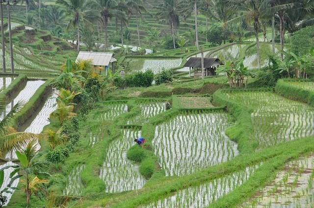 Rice fields in Jatiluwih Bali