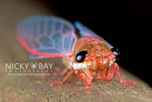 Cicada (Cicadidae) - DSC_1776