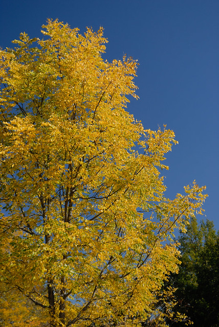 Shaw Nature Reserve (the Arboretum), in Gray Summit, Missouri, USA - autumn tree in yellow