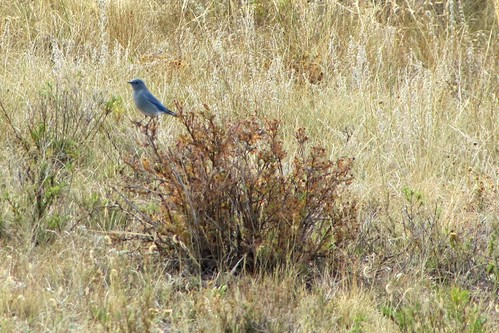 IMG_6353_Bluebird_Rocky_Mountain_National_Park