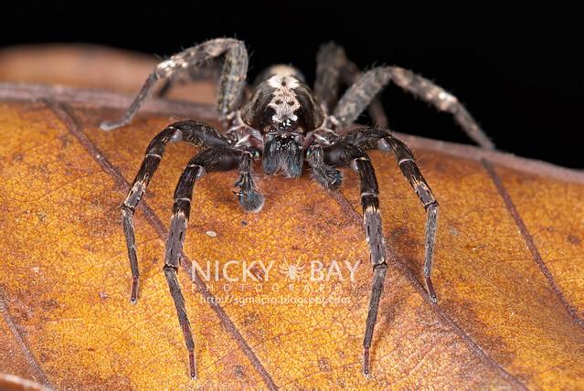 Wandering Spider (Ctenidae) - DSC_1046