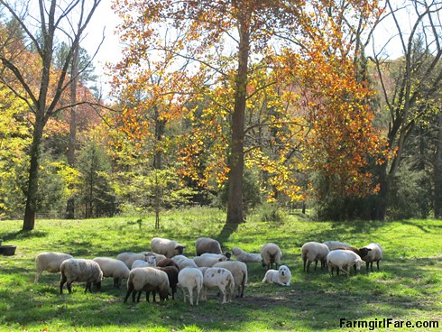 A peaceful scene in the sheep pasture - FarmgirlFare.com