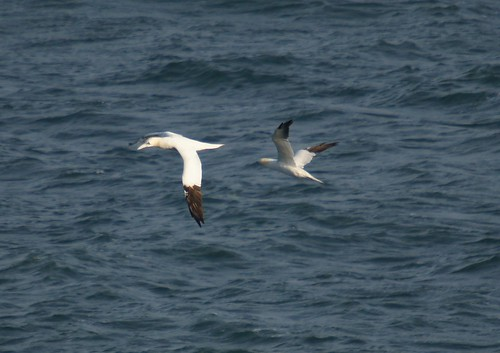 The Long Distant Gannets by julian sawyer - Purbeck Footprints
