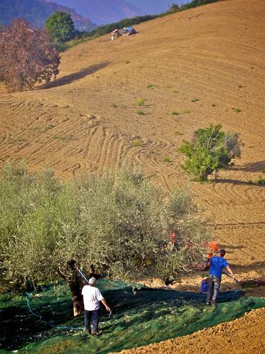 Abruzzo Olive Harvest