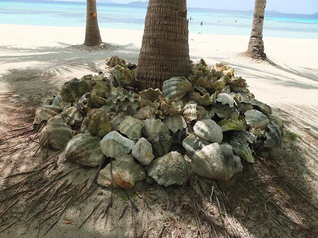 Malcapuya的海底有很多巨大的蚌~蚌殼被拿來當成島上的擺飾