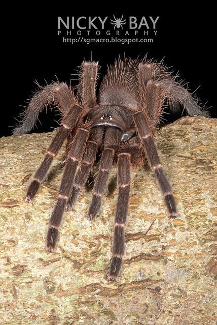 Tarantula (Phlogiellus sp.) - ESC_0002