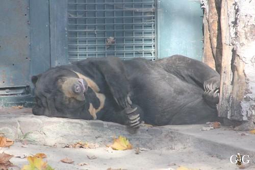 584 Maika der Malaienbär ganz relaxt