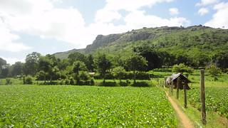 Beans crop before harvest in Bejjalatti village, Erode