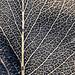 Leaf Texture by mcveja