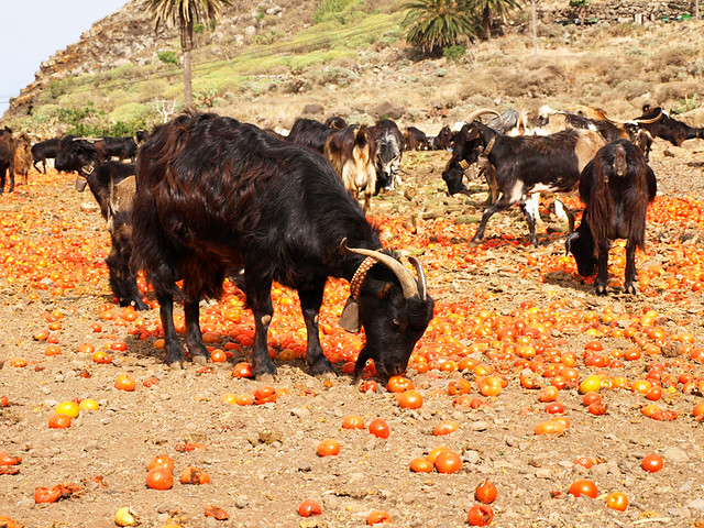Goats and Tomatoes, Tenerife
