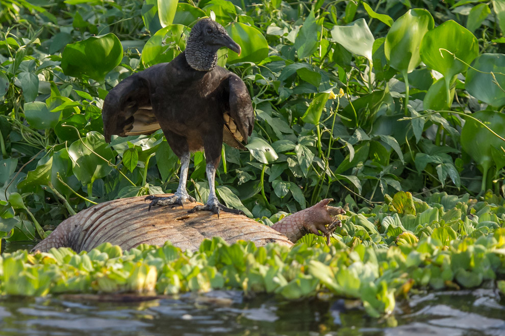 Un Yryvu hu (Coragyps atratus) se alimenta de un yacare muerto a orillas del río. (Tetsu Espósito)
