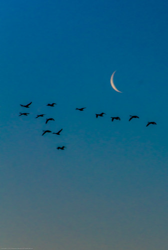 moon birds sunrise flying